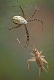 Αράχνη και γρύλος Στοκ φωτογραφία με δικαίωμα ελεύθερης χρήσης
