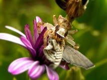 Αράχνη και θήραμα καβουριών στοκ φωτογραφία με δικαίωμα ελεύθερης χρήσης