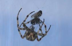 Αράχνη και θύμα Στοκ εικόνες με δικαίωμα ελεύθερης χρήσης