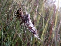 Αράχνη και Ιστός αραχνών Στοκ φωτογραφία με δικαίωμα ελεύθερης χρήσης