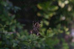 Αράχνη και Ιστός Στοκ Εικόνες