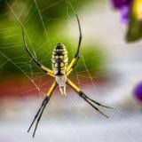 Αράχνη και Ιστός Argiope Στοκ Φωτογραφίες