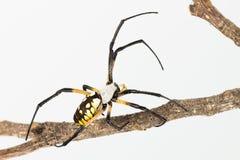 Αράχνη και κλαδίσκος υφαντών σφαιρών στο λευκό Στοκ φωτογραφία με δικαίωμα ελεύθερης χρήσης