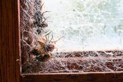 Αράχνη και τέσσερις μύγες που πιάνονται στους Ιστούς αραχνών στο πλαίσιο παραθύρων Στοκ εικόνα με δικαίωμα ελεύθερης χρήσης