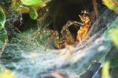 Αράχνη και το θήραμά του Στοκ εικόνες με δικαίωμα ελεύθερης χρήσης