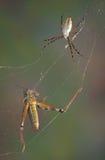 Αράχνη και χοάνη στον Ιστό Στοκ Εικόνα