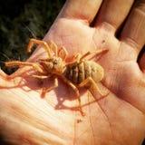 Αράχνη καμηλών στοκ εικόνες