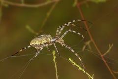 Αράχνη κινηματογραφήσεων σε πρώτο πλάνο (argiope lobata) που περιστρέφει έναν Ιστό μεταξύ της χλόης Στοκ εικόνα με δικαίωμα ελεύθερης χρήσης