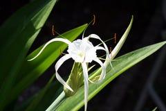 αράχνη κρίνων λουλουδιών Στοκ Φωτογραφίες