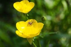 αράχνη λουλουδιών κίτριν&et Στοκ Φωτογραφίες
