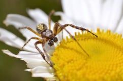 αράχνη λουλουδιών μαργα& Στοκ φωτογραφίες με δικαίωμα ελεύθερης χρήσης