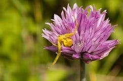 αράχνη λουλουδιών Στοκ Φωτογραφία