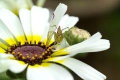 αράχνη λουλουδιών Στοκ Εικόνα