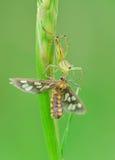 Αράχνη λυγξ με το θήραμα Στοκ εικόνα με δικαίωμα ελεύθερης χρήσης