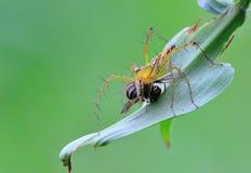 Αράχνη λυγξ με το θήραμα Στοκ Φωτογραφία
