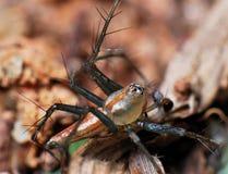 αράχνη λυγξ στοκ φωτογραφίες με δικαίωμα ελεύθερης χρήσης