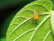 Αράχνη λυγξ Στοκ εικόνες με δικαίωμα ελεύθερης χρήσης