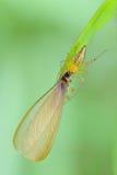Αράχνη λυγξ Στοκ φωτογραφία με δικαίωμα ελεύθερης χρήσης