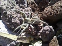 Αράχνη λύκων στοκ εικόνες με δικαίωμα ελεύθερης χρήσης