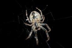 Αράχνη Μακροεντολή Στοκ Εικόνες