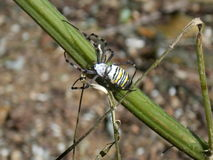 Αράχνη μελισσών Στοκ Φωτογραφία