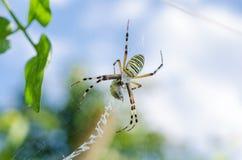 Αράχνη με τα κίτρινα και μαύρα λωρίδες Argiope Στοκ φωτογραφία με δικαίωμα ελεύθερης χρήσης