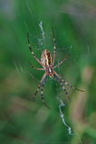 Αράχνη με τα κίτρινα και μαύρα λωρίδες Argiope Στοκ εικόνες με δικαίωμα ελεύθερης χρήσης