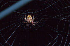 Αράχνη με το έντομο Στοκ Φωτογραφία