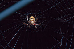 Αράχνη με το έντομο Στοκ Εικόνα