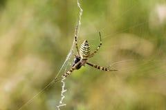 Αράχνη με το θήραμα Στοκ φωτογραφίες με δικαίωμα ελεύθερης χρήσης