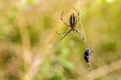Αράχνη με το θήραμα Στοκ φωτογραφία με δικαίωμα ελεύθερης χρήσης