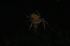 Αράχνη με το θήραμα Στοκ Εικόνα