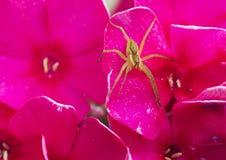 Αράχνη-νομαδικός κυνηγός (Pisauridae) Στοκ Φωτογραφία