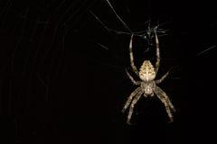 Αράχνη νύχτας Στοκ Φωτογραφίες