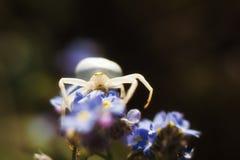Αράχνη λουλουδιών στη φύση Στοκ Φωτογραφία