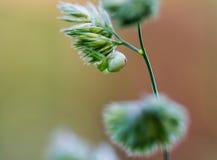 Αράχνη λουλουδιών, Misumena, άνω πλευρά στάσεων - κάτω στη μακροεντολή χλόης Στοκ εικόνα με δικαίωμα ελεύθερης χρήσης