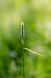 Αράχνη λουλουδιών, vatia Misumena καβουριών χρυσοβεργών sigle στη χλόη LE Στοκ φωτογραφία με δικαίωμα ελεύθερης χρήσης