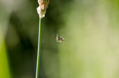 Αράχνη λουλουδιών, vatia Misumena καβουριών χρυσοβεργών sigle στη χλόη LE Στοκ Εικόνες