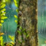 Αράχνη που αναρριχείται και που παράγει στο μετάξι για να δημιουργήσει τους Ιστούς Στοκ Φωτογραφίες