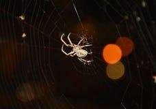 Αράχνη που αναρριχείται, στενός ένας επάνω Στοκ Φωτογραφίες