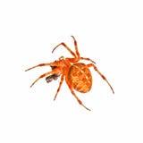Αράχνη που απομονώνεται διαγώνια Στοκ Φωτογραφία