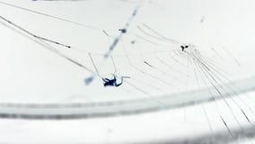Αράχνη που κάνει τον Ιστό στο λευκό απόθεμα βίντεο