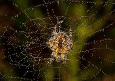 Αράχνη που καλύπτεται με τη δροσιά Στοκ Εικόνες