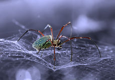 Αράχνη που κοιτάζει έξω για το θήραμά τους Στοκ Εικόνες