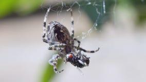 Αράχνη που περιστρέφει το θήραμα απόθεμα βίντεο