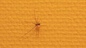 Αράχνη που σέρνεται στον τοίχο απόθεμα βίντεο