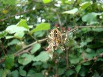 Αράχνη που φρουρεί το θάμνο βατόμουρων Στοκ Φωτογραφία