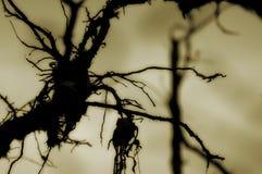 αράχνη ριζών Στοκ φωτογραφίες με δικαίωμα ελεύθερης χρήσης