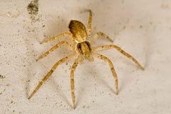 αράχνη σάκων Στοκ Φωτογραφίες