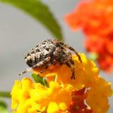 Αράχνη σε ένα λουλούδι Στοκ Εικόνες